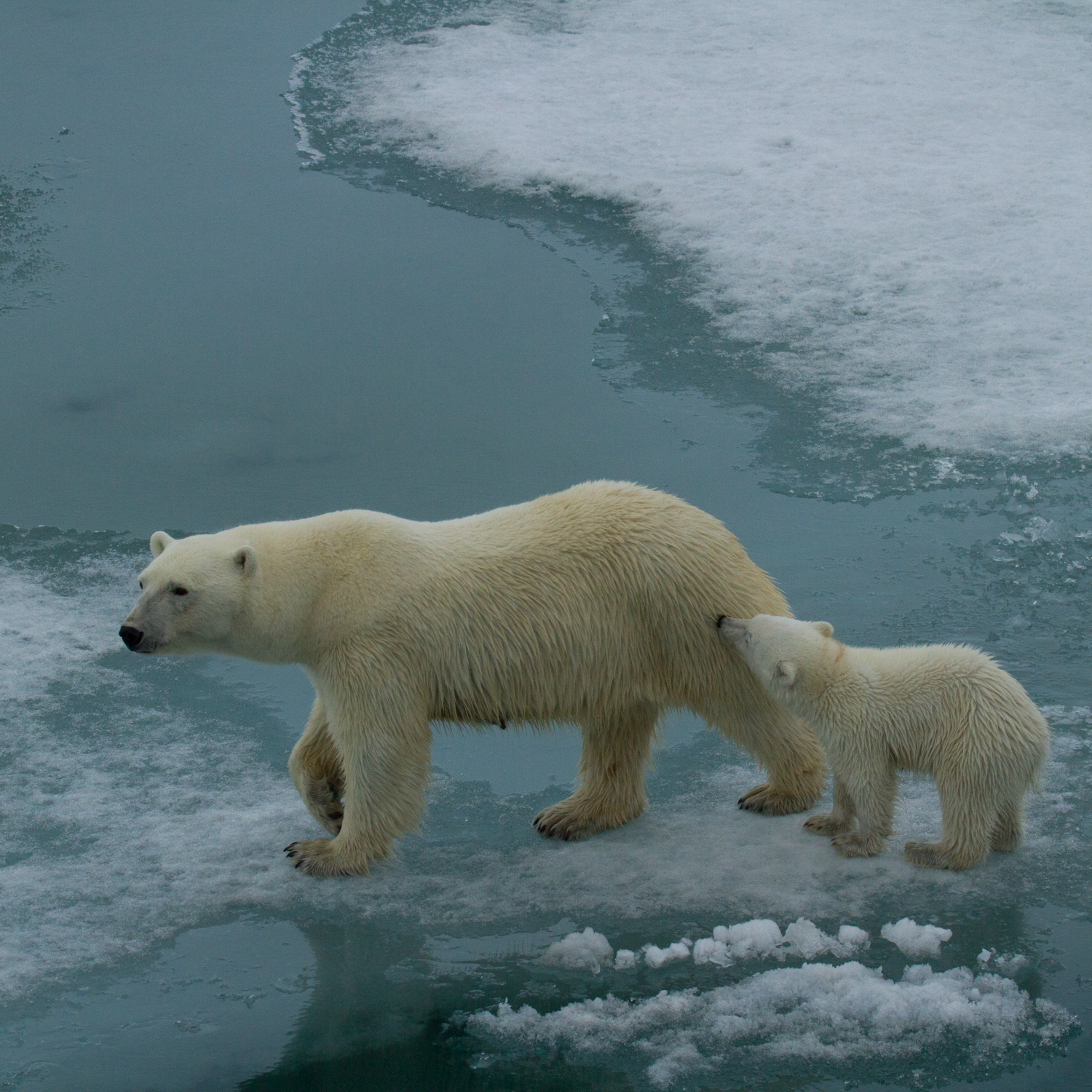 """""""Mid-summer sea ice presents challenges for this mother polar bear and her cub off the southeast coast of Svalbard."""""""